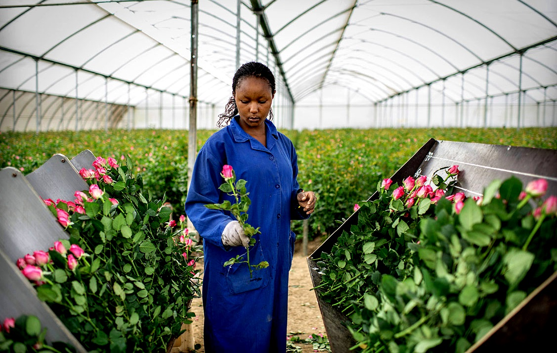 Kenya Flower Exports Wither as Pandemic Hits Major Importers